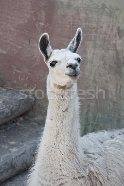 Llama Stock photo © sailorr