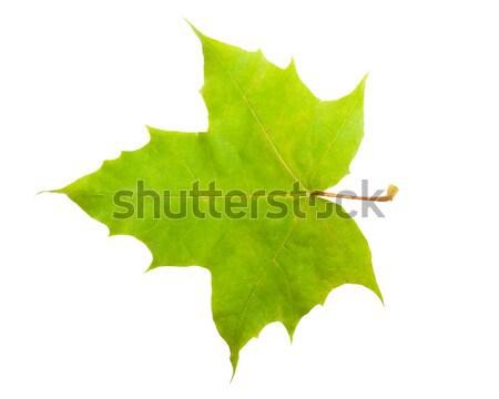 カエデの葉 美しい 孤立した 白 自然 緑 ストックフォト © sailorr