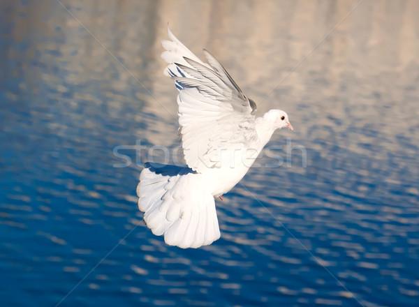 Branco pombo bom foto voador Foto stock © sailorr