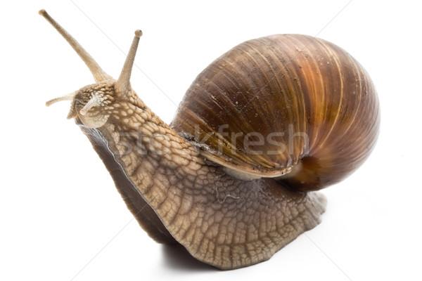 Snail Stock photo © sailorr