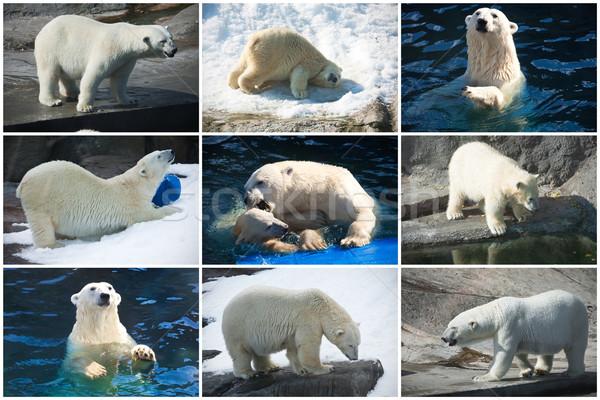 Sarki medvék gyönyörű fotók aranyos fehér Stock fotó © sailorr