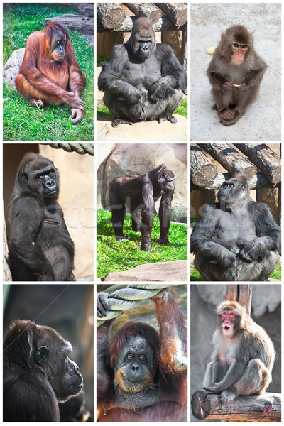 Monkeys Stock photo © sailorr