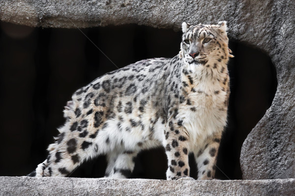 Snow Leopard Stock photo © sailorr
