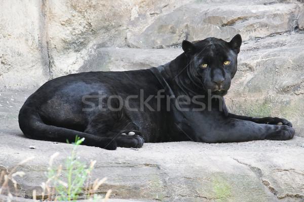 черный Panther красивой фото изящный Сток-фото © sailorr