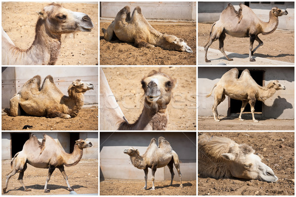 Teve gyönyörű közelkép fotók nagy sivatag Stock fotó © sailorr