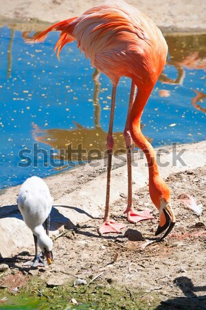 Flamingo mooie amerikaanse water dierentuin meer Stockfoto © sailorr