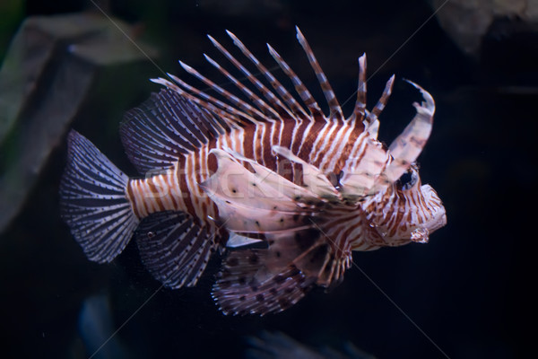 Lionfish Stock photo © sailorr