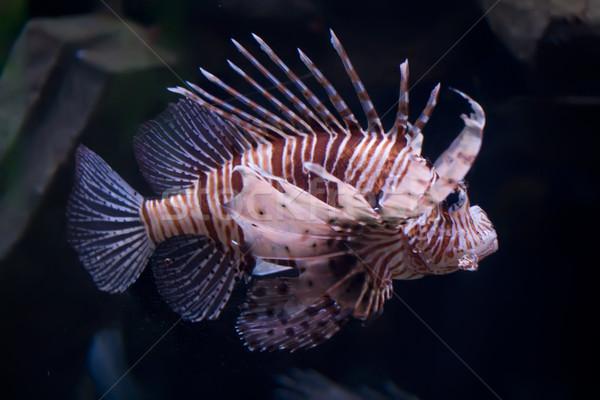 Lionfish Stock photo © sailorr