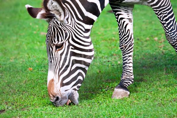 Zebra Stock photo © sailorr