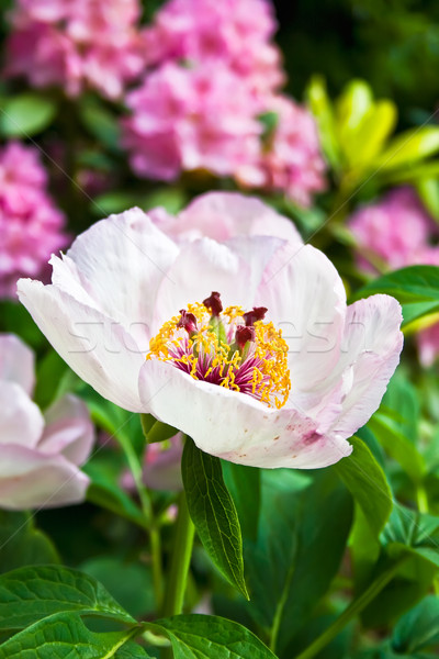 Beatiful flower Stock photo © sailorr