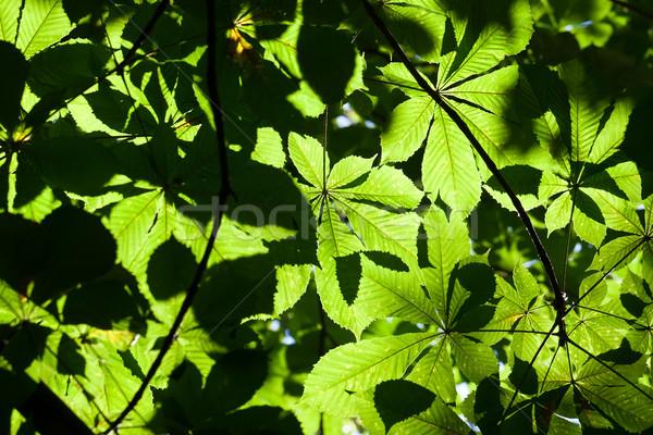 Levelek buja zöld levelek fényes napfény fa Stock fotó © sailorr