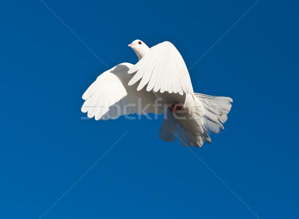 Bianco piccione nice primo piano foto battenti Foto d'archivio © sailorr