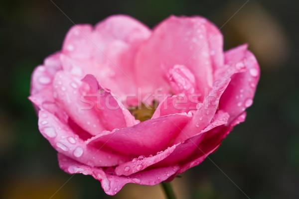 Rose Stock photo © sailorr