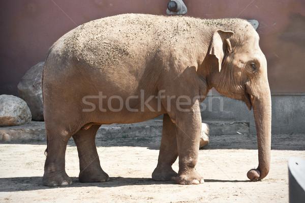 Elefante bella foto enorme grigio piedi Foto d'archivio © sailorr