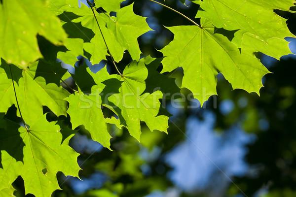 листьев пышный зеленые листья ярко солнечный свет дерево Сток-фото © sailorr