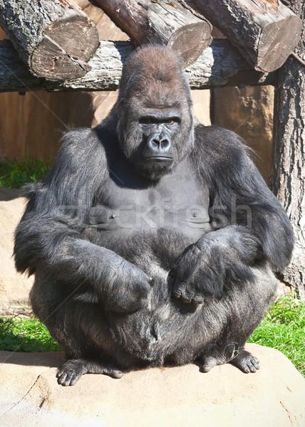 Gorilla nice foto nero african zoo Foto d'archivio © sailorr