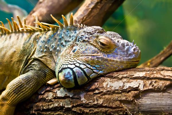 Iguana Stock photo © sailorr