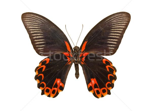 Butterfly Papilio deiphobus rumanzovia Stock photo © sailorr