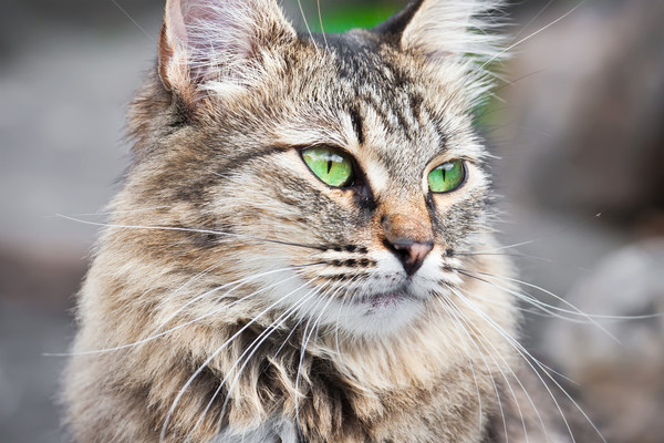 Chat belle portrait yeux verts visage Photo stock © sailorr