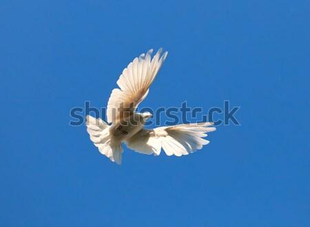белый голубь Nice фото Flying Сток-фото © sailorr