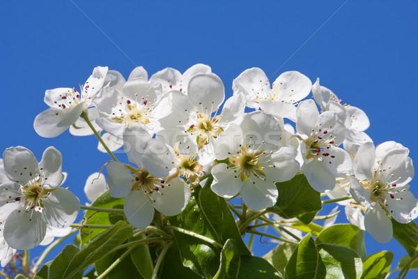 Apple flowers Stock photo © sailorr