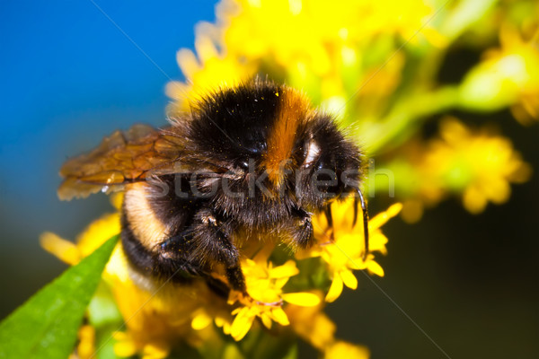 Bumblebee Stock photo © sailorr