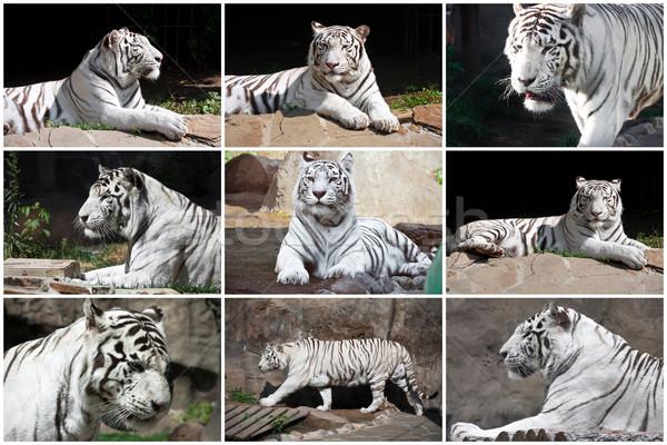 Beyaz kaplan güzel fotoğrafları hayvanat bahçesi doğa Stok fotoğraf © sailorr
