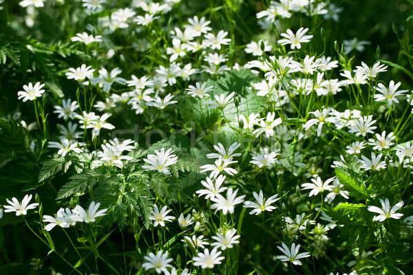 Spring windflowers  Stock photo © sailorr