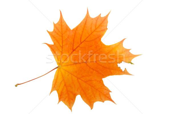 Maple leaf Stock photo © sailorr