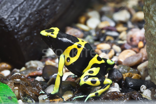 Dendrobates frog Stock photo © sailorr