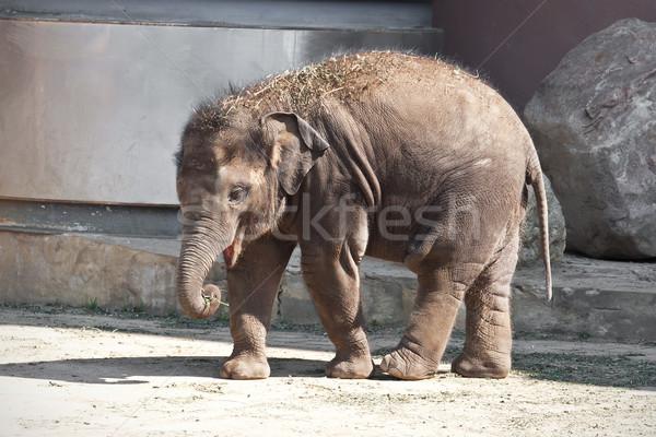 слон красивой фото небольшой ребенка ходьбе Сток-фото © sailorr