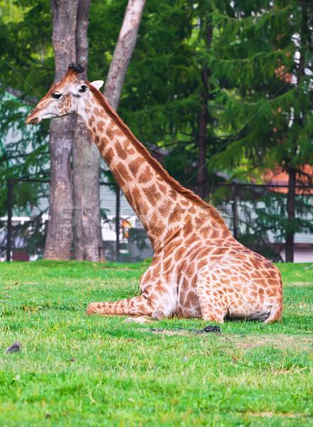 жираф портрет большой африканских зоопарке природы Сток-фото © sailorr