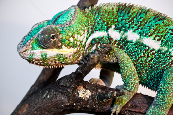 Panther chameleon Stock photo © sailorr