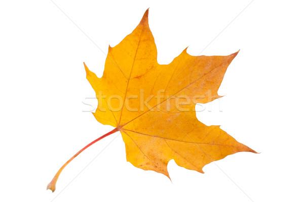 カエデの葉 美しい 孤立した 白 オレンジ 金 ストックフォト © sailorr