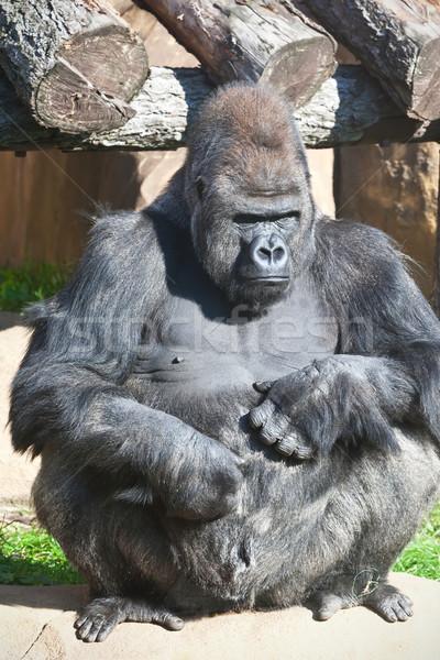 Gorilla Stock photo © sailorr