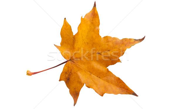 カエデの葉 美しい 孤立した 白 背景 金 ストックフォト © sailorr