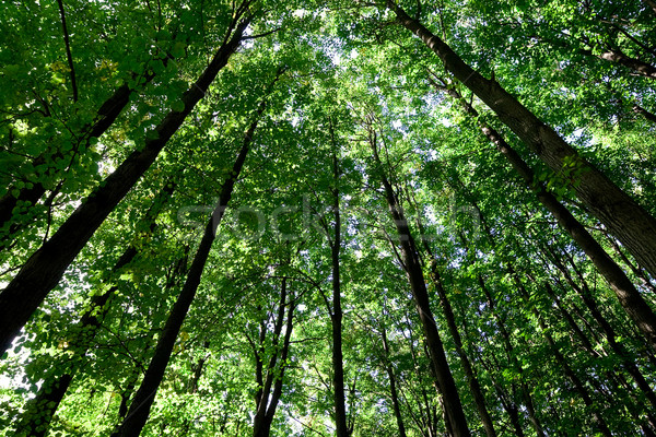 Forest Stock photo © sailorr