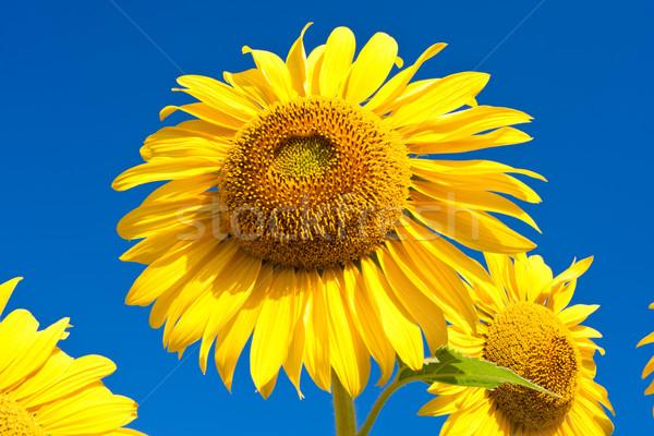 ヒマワリ 美しい クローズアップ 写真 ビッグ 黄色 ストックフォト © sailorr