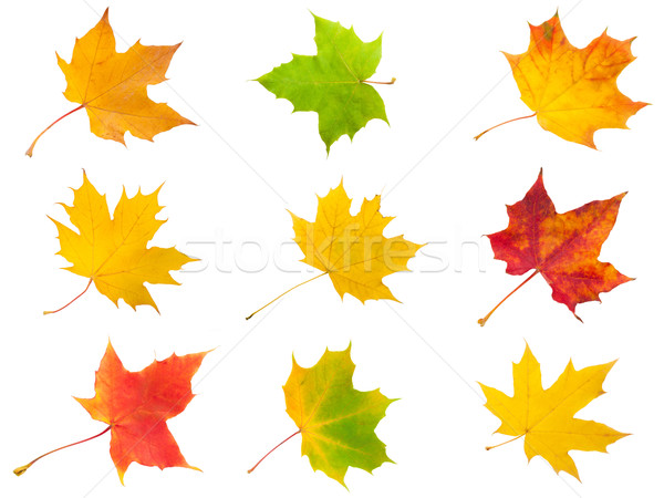 Maple leaves Stock photo © sailorr