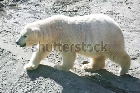 Ijsbeer mooie foto cute witte natuur Stockfoto © sailorr