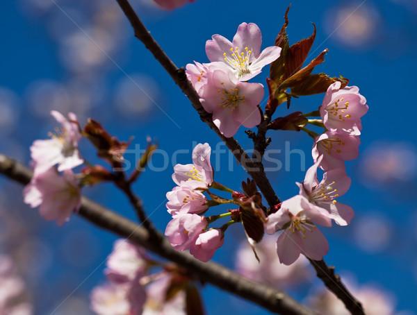Fiore di ciliegio bella rosa fiori japanese sakura Foto d'archivio © sailorr