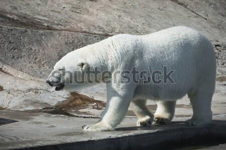 Polar bear Stock photo © sailorr