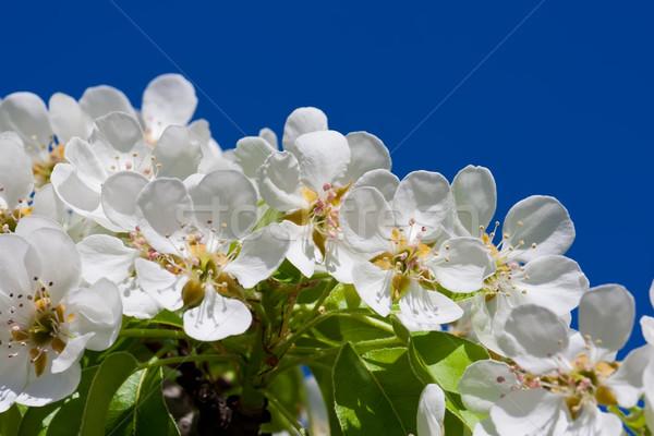 Mela fiori bella primavera fiore ciliegio Foto d'archivio © sailorr