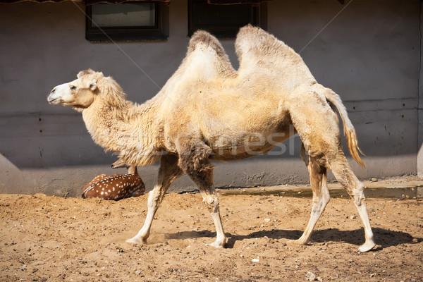 Camello agradable foto grande arena Foto stock © sailorr