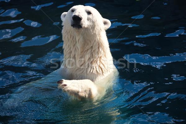 Oso polar agradable foto cute blanco naturaleza Foto stock © sailorr