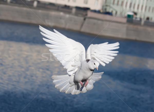 White pigeon Stock photo © sailorr