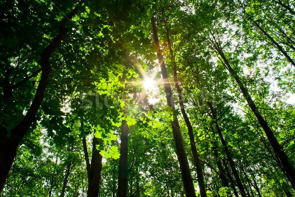 sunny forest Stock photo © sailorr