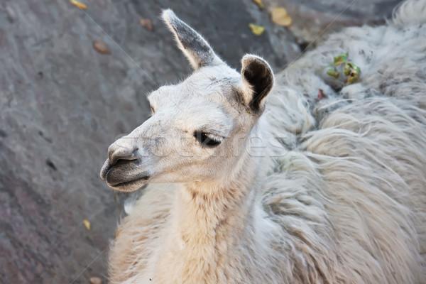 Lama grappig portret dierentuin natuur Stockfoto © sailorr