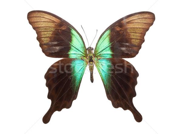 Butterfly Papilio Peranthus Stock photo © sailorr