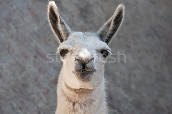 Lama komik portre hayvanat bahçesi doğa Stok fotoğraf © sailorr